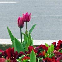 Пора тюльпанов :: Наталья (D.Nat@lia) Джикидзе (Берёзина)