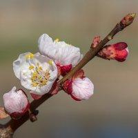Цвет есть, будут ли абрикосы? :: Юрий Афанасьевич .