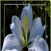 Белый щит :: Vanda Kremer