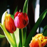 тюльпаны :: Диана Лукашова