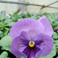 Viola Power Lavender Shader :: laana laadas