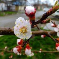 Цвет 15 апреля.... :: Олег Петрушин