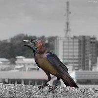 Ланкийский блестящий ворон. :: Edward J.Berelet