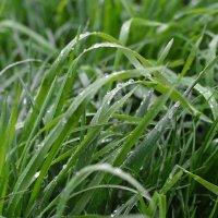 Капли на траве :: Елена Нор