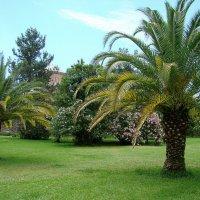 Пицунда. Городские пальмы. :: юрий