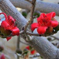 Бомбакс(хлопковое дерево),родственник баобаба :: Евгений Дубинский