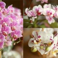 Орхидеи :: Larisa Ulanova