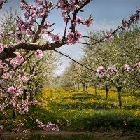 Яблони в цвету :: Tатьяна Ольшевская