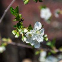 цветок вишни :: Горный турист Иван Иванов