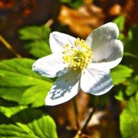 С первой весной :: Виолетта Чуднецова