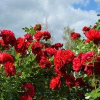 Розы и небо :: Viacheslav