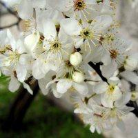 Цветение весны :: Сергей Карачин