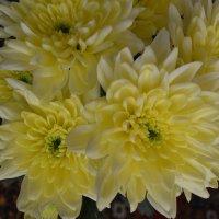 Хризантемы. :: zoja