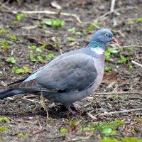 Дикий голубь. :: оля san-alondra