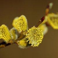 Цветы весны. :: bybyakovo