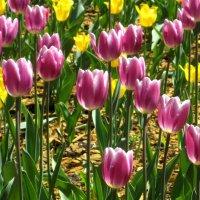 Сияющие тюльпаны  приветствуют весну :: Елена Семигина