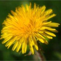 Цветы апреля :: Swetlana V