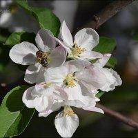 Один раз в год сады цветут... :: Anna Gornostayeva