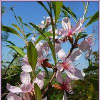 Цветет дикий миндаль (бобовник) :: Андрей Заломленков