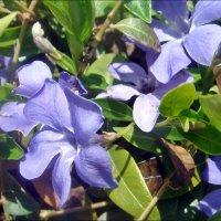 Голубоглазый барвинок :: Нина Корешкова