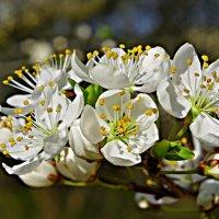 яблоня цветет... :: юрий иванов