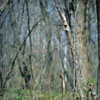 весенний лес :: Tatyana Belova
