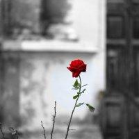 Роза :: Отто Шельник