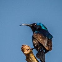 Nectarina osea :: Валерий Цингауз