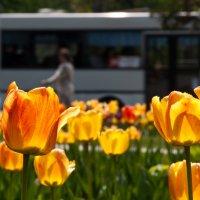 Городские цветы. :: Олег Игуменов