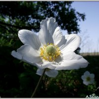 Ветреница белая (анемона) :: Андрей Заломленков