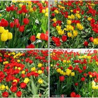 Тюльпаны... тюльпаны... :: Нина Бутко