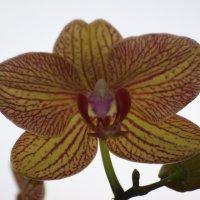 Орхидея :: Аллуся Сеник