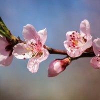 Цветок персика :: Ирина Приходько