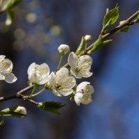 Цветущая ветка алычи... :: Денис Пшеничный