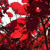 На красной планете 5 (Скумпия осенью) :: Natali