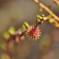 цветок пихты голубой :: Светлана Горячева