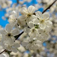 Вишенки в цвету :: Nataliya Oleinik