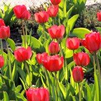 тюльпаны :: Люба Вылывана