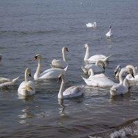 Лебеди в Анапской бухте :: Ирина Рассветная