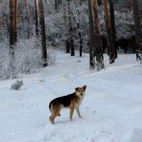 """..  почти лесной  """"волк""""... :: Валерия  Полещикова"""