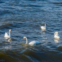 Лебединый танец :: Леонид Соболев