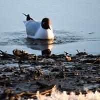 Чайка :: Марина Махова