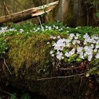Цветы на стволе. :: Валерия Комова