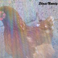 Курица :: Наталья (ShadeNataly) Мельник