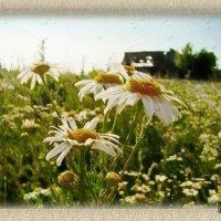 Расцвели ромашки поутру Приоткрыли ясные глазёнки Выйду рано, запах их вдохну .. :: Людмила Богданова (Скачко)