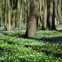 Весенний лес. :: Антонина Гугаева