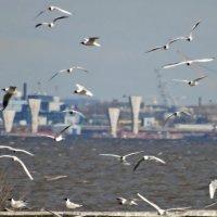 Город,залив и чайки. :: Владимир Гилясев