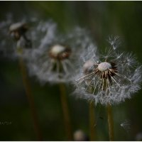 в поле ветер дул... :: Александр Лонский