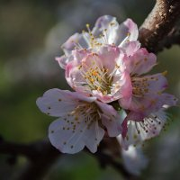 Абрикосы цветут :: Лидия Цапко