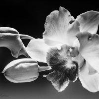 любимые орхидеи/дендробиум Anucha :: Маргарита Лапина